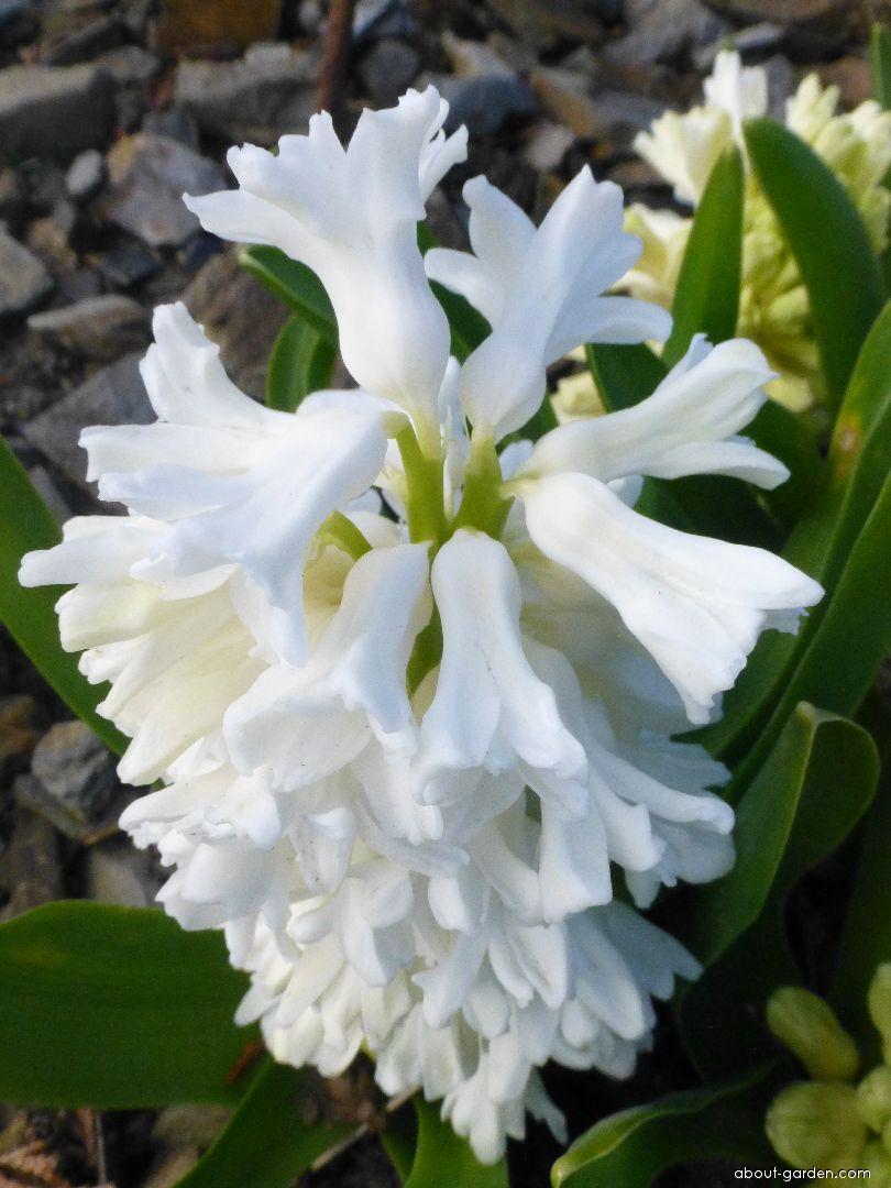 Common Hyacinth - Hyacinthus orientalis Aiolos