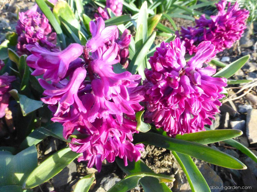 Common Hyacinth - Hyacinthus orientalis Woodstock