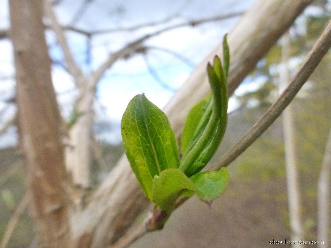 Heptakodium jasmínovité - mladé listy (Heptacodium miconioides)