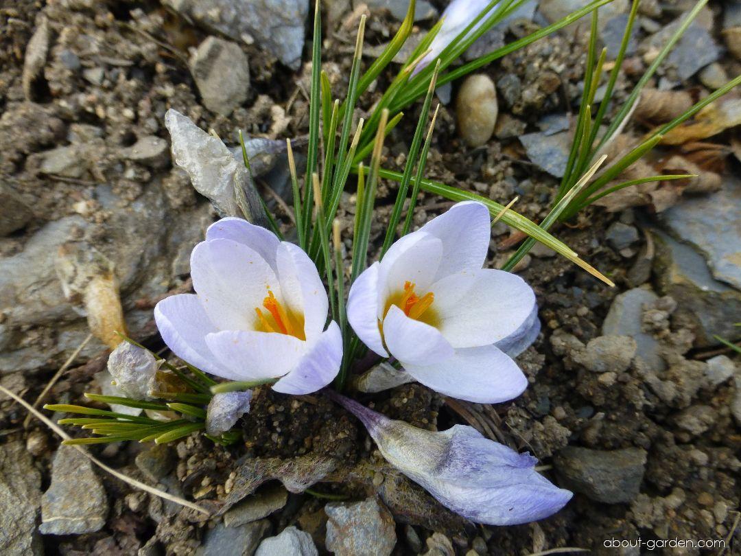 Golden Crocus - Crocus chrysanthus Blue Pearl