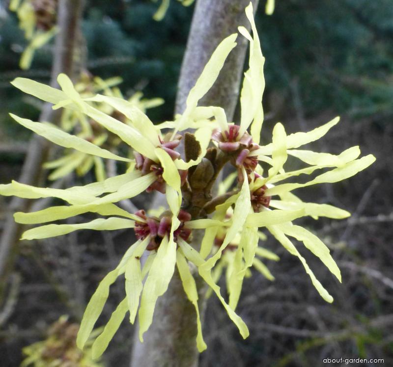 Hybrid Witch Hazel - Hamamelis x intermedia Angelly