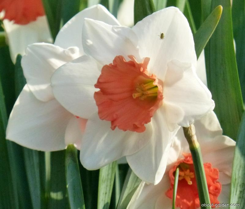Daffodil - Narcissus Decoy