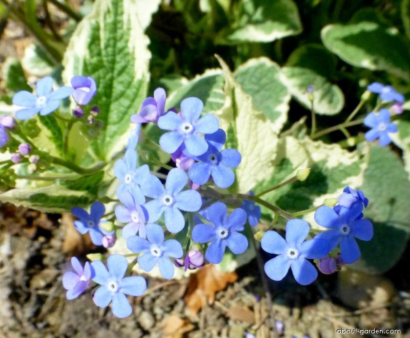 Pomněnkovec velkolistý (Brunnera macrophylla Dawsons White)