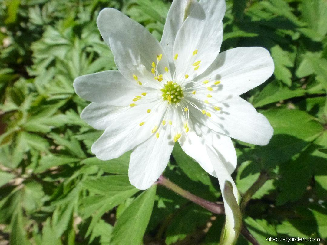 Wood Anemone - Anemone nemorosa Jan