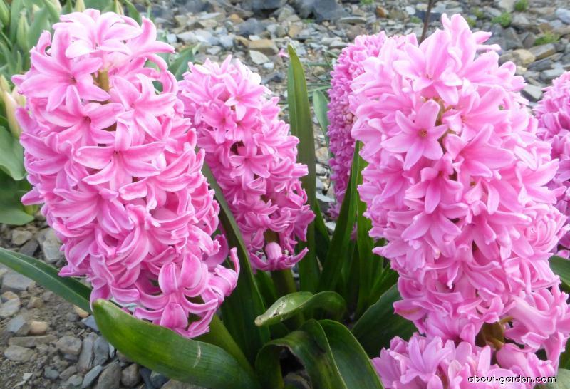 Common Hyacinth - Hyacinthus orientalis Ibis
