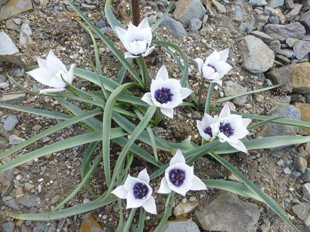 Tulip - Tulipa humilis var. pulchella Alba Coerulea Oculata
