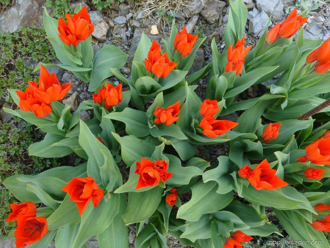 Tulip praestans - Tulipa praestans