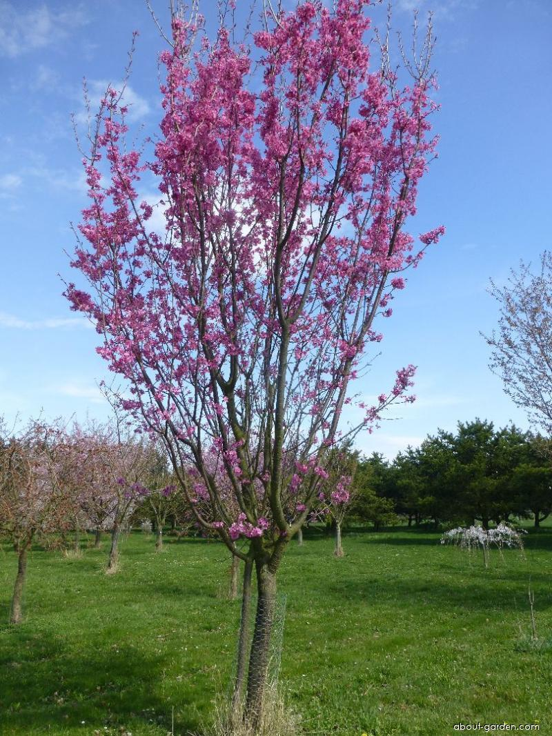 Japanese Cherry - Prunus serrulata Captain Collingwood Ingram