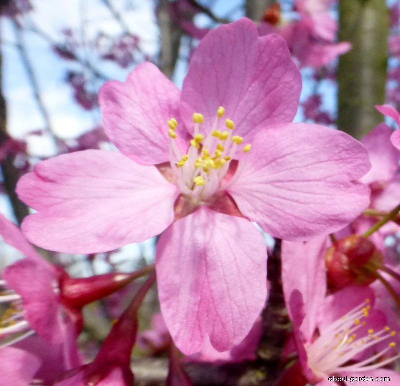 Japanese Cherry - Prunus serrulata Captain Collingwood Ingram