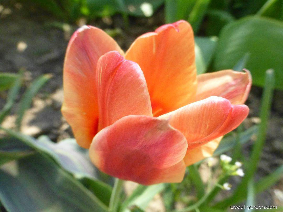 Tulipa greigii Orange Elite (Greigii Tulip)