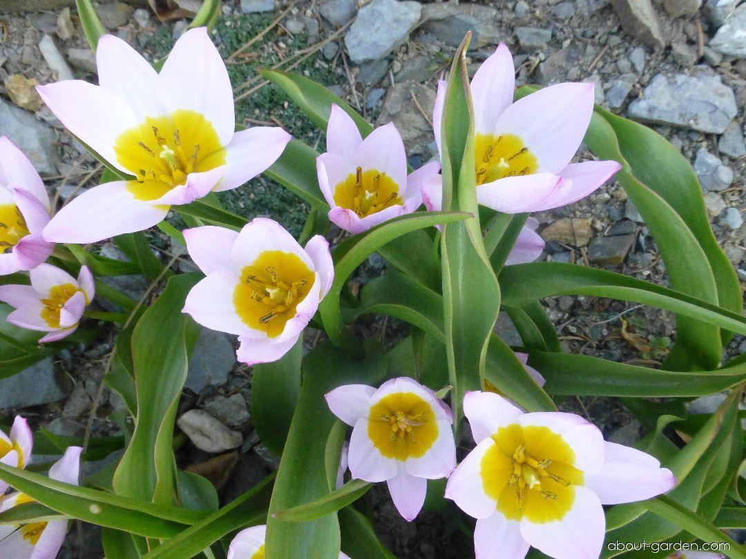 Tulipán Lilac Wonder (Tulipa bakeri)