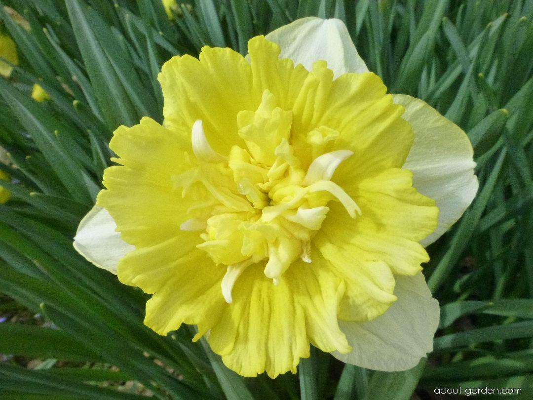Daffodil - Narcissus Full House