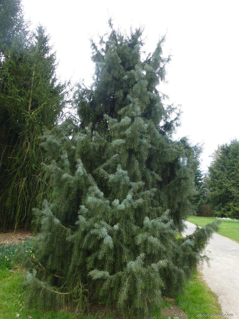 Smrk Brewerův - habitus (Picea breweriana)