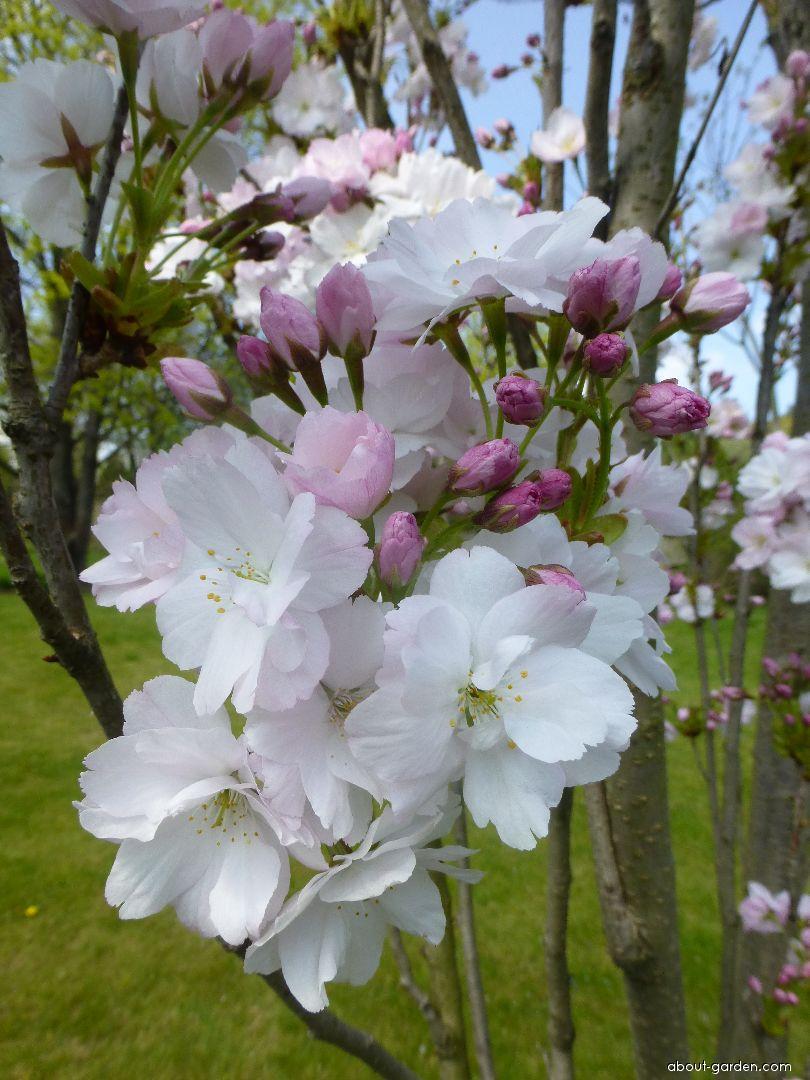 Japanese Cherry - Prunus serrulata Amanogawa