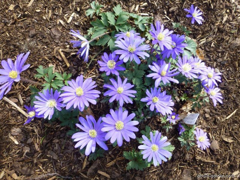 Balkan Anemone - Anemone blanda Blue Shades