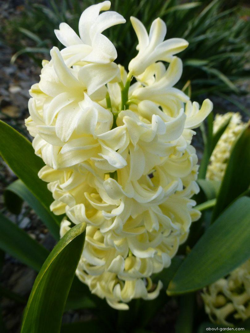 Common Hyacinth - Hyacinthus orientalis City of Haarlem