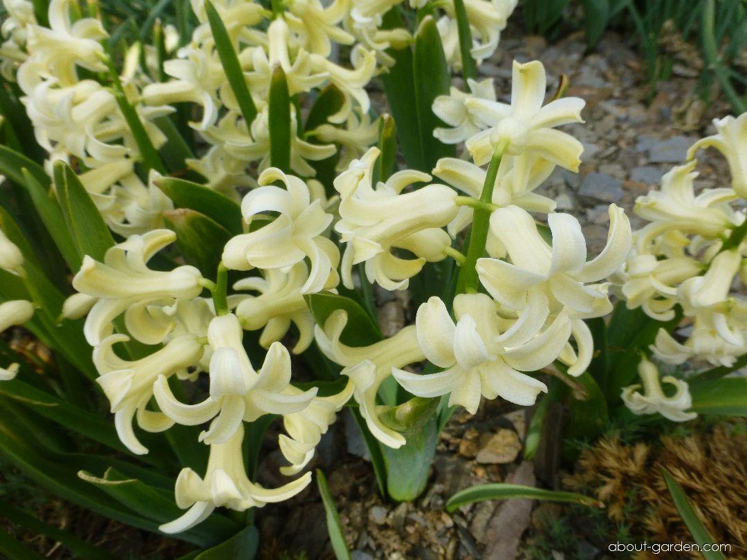 Hyacint východní City of Haarlem (Hyacinthus orientalis)
