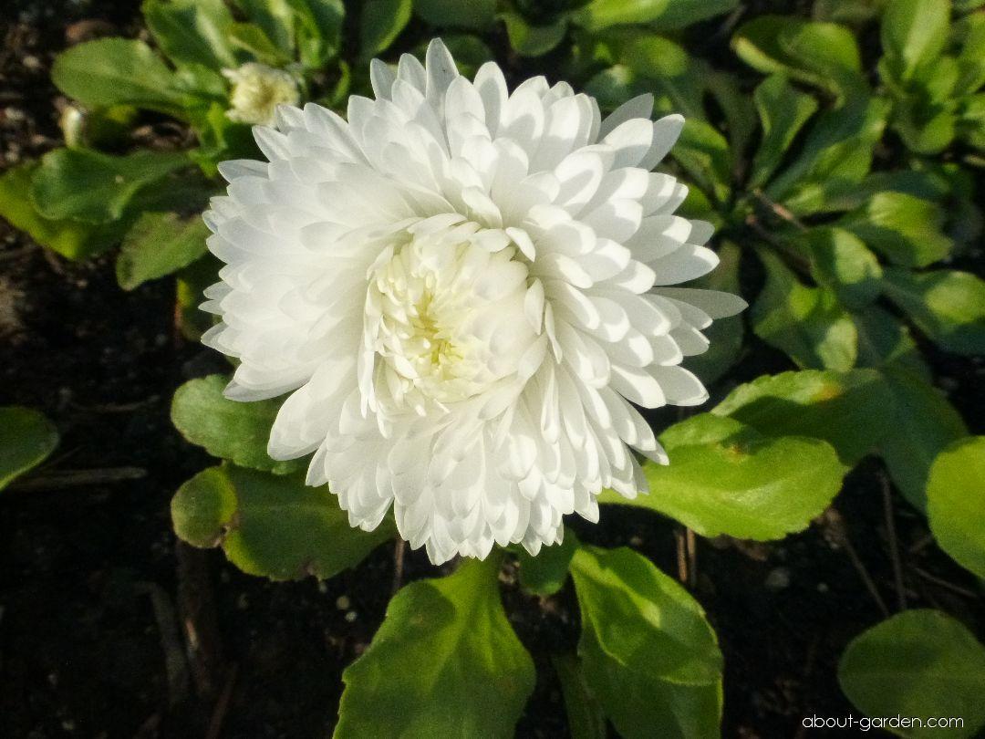 English Daisy - Bellis perennis Roggli White