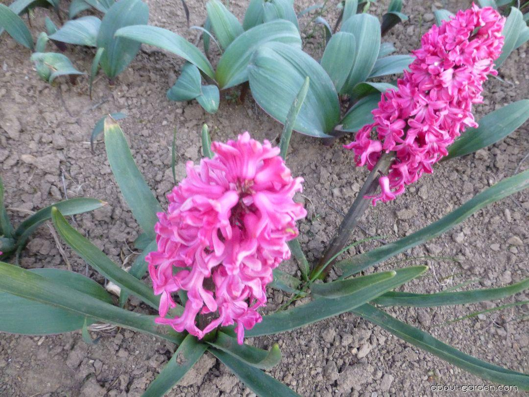 Common Hyacinth - Hyacinthus orientalis Jan Bos