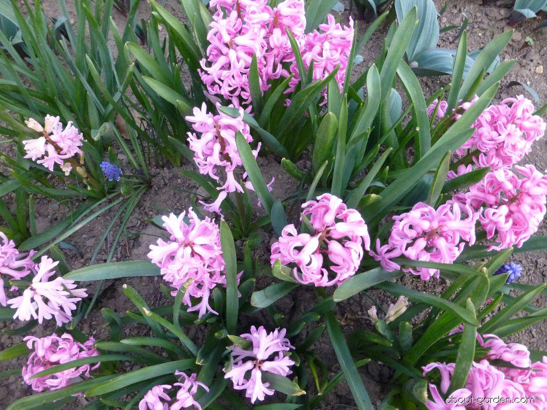 Common Hyacinth - Hyacinthus orientalis Marconi