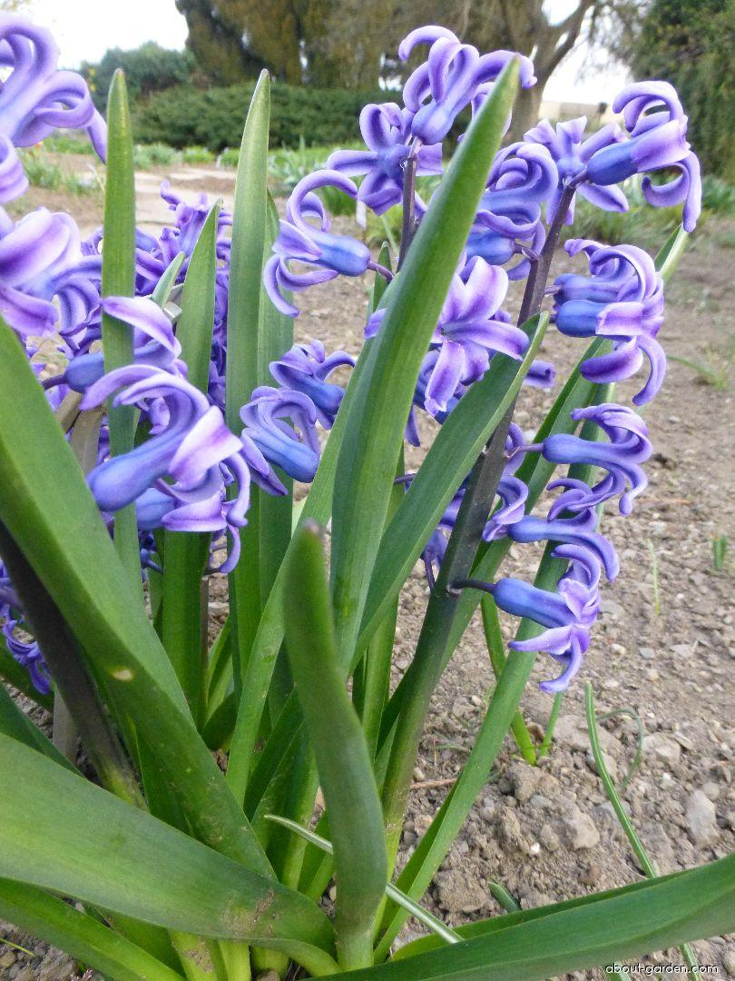 Common Hyacinth - Hyacinthus orientalis Blue Jacket