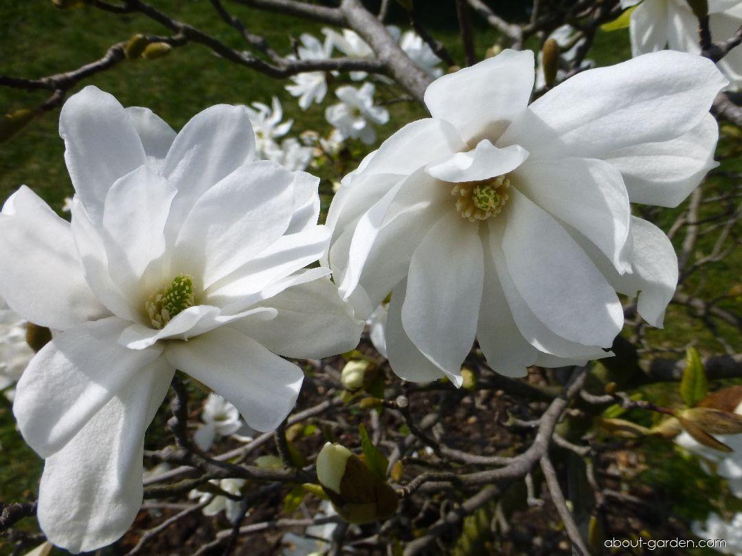 Star Magnolia - Magnolia stellata Scented Silver