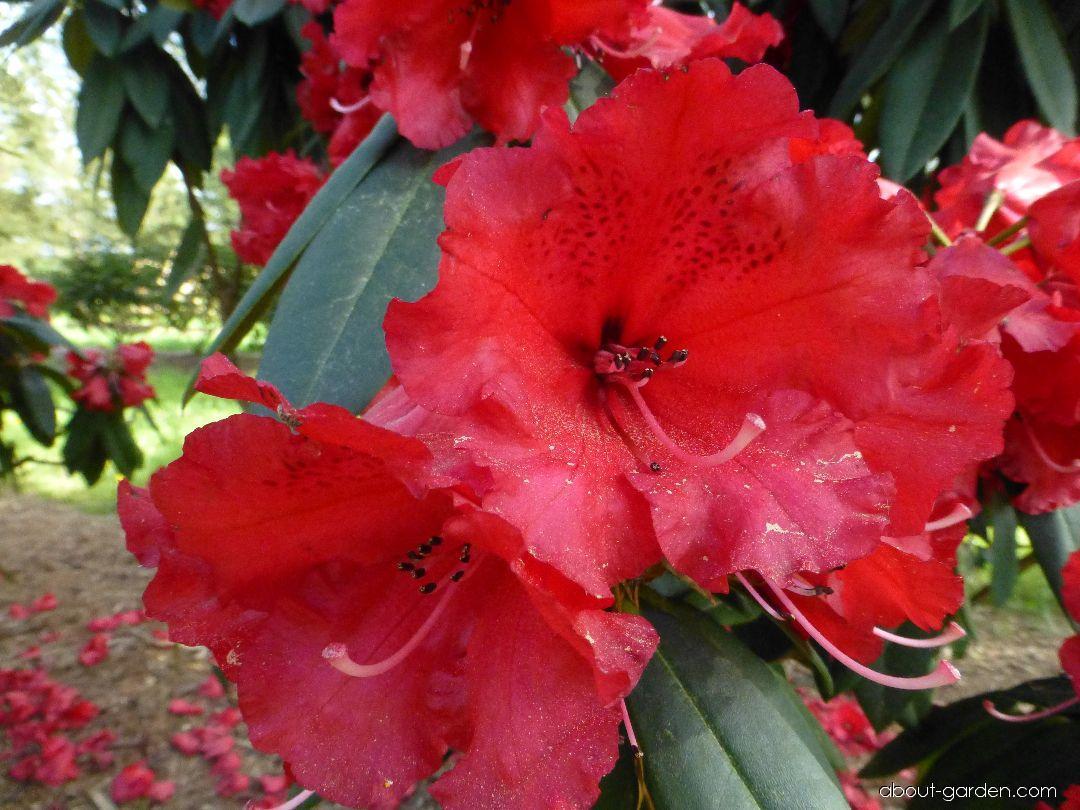 Pěnišník Taurus (Rhododendron)