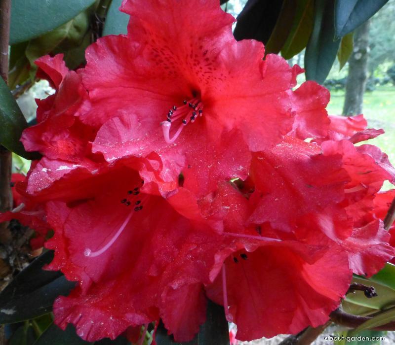 Pěnišník Taurus - květ (Rhododendron)