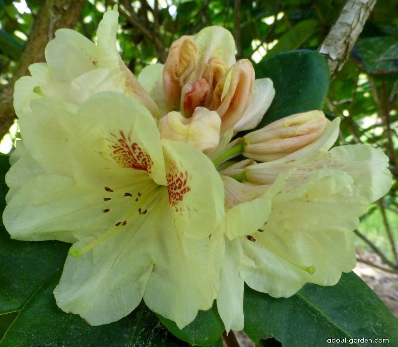 Pěnišník Goldbukett - květ (Rhododendron)