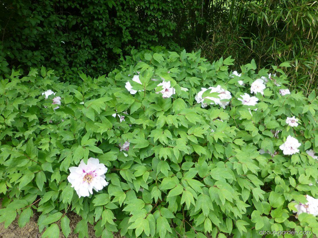 Moutan Peony - Paeonia suffruticosa Blanche de His