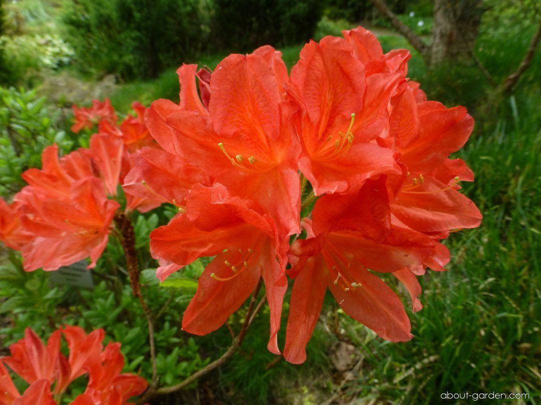 Rhododendron - Rhododendron Feuerwerk