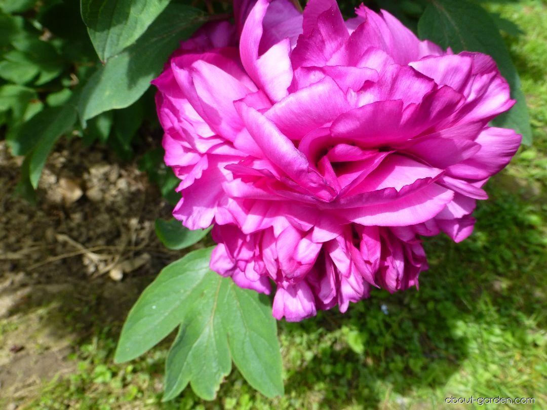 Moutan Peony - Paeonia suffruticosa Choraku