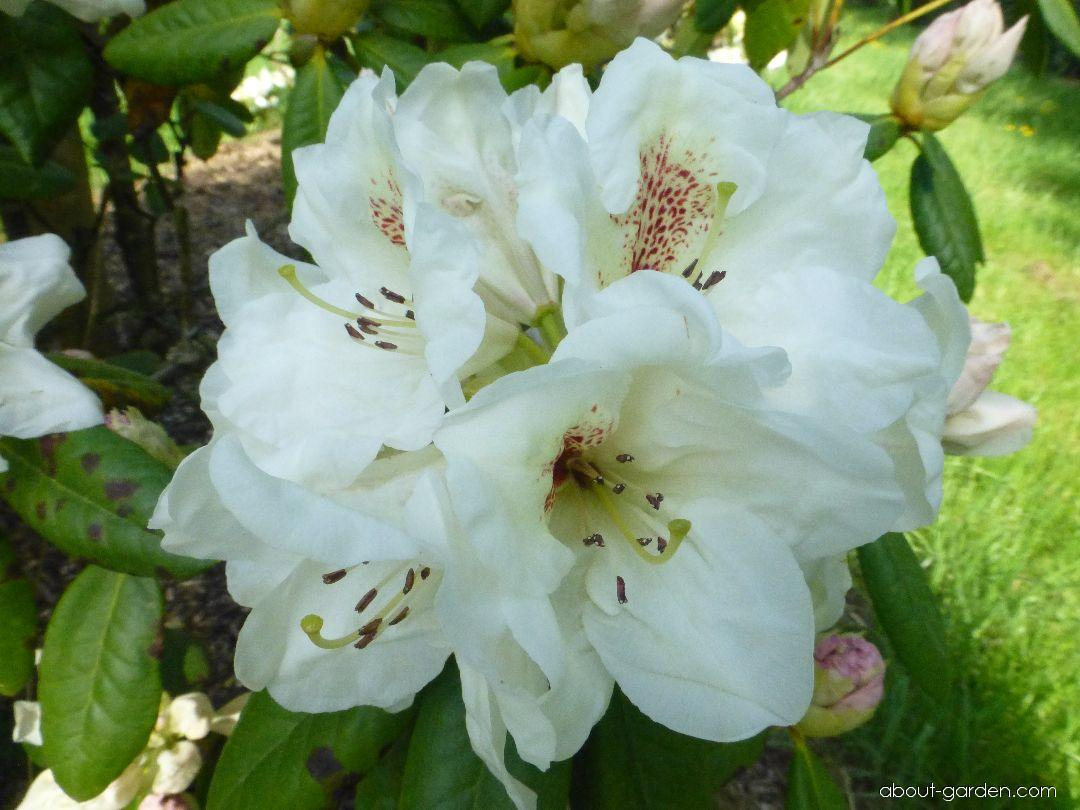 Rhododendron - Rhododendron Harvest Moon