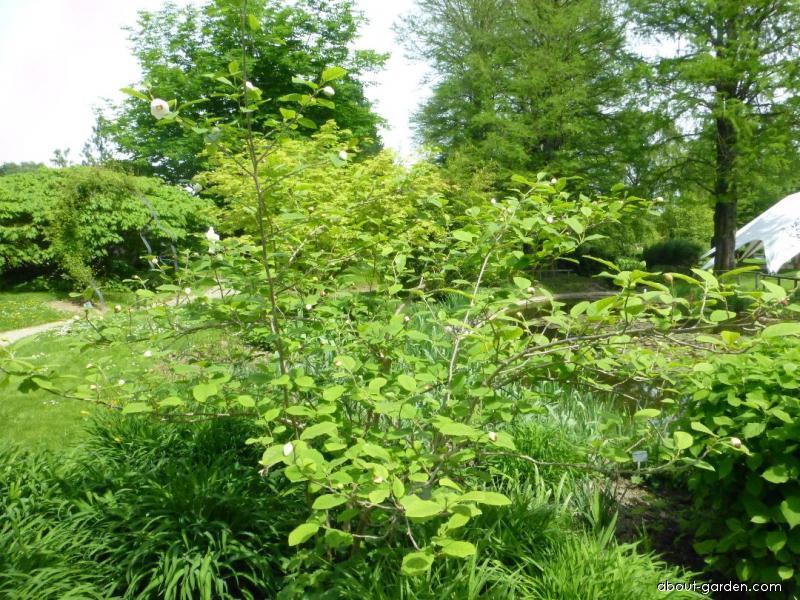 Siebold s Magnolia - Magnolia sieboldii