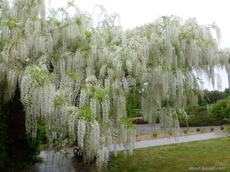 Japanese white wisteria - Wisteria floribunda Longissima Alba