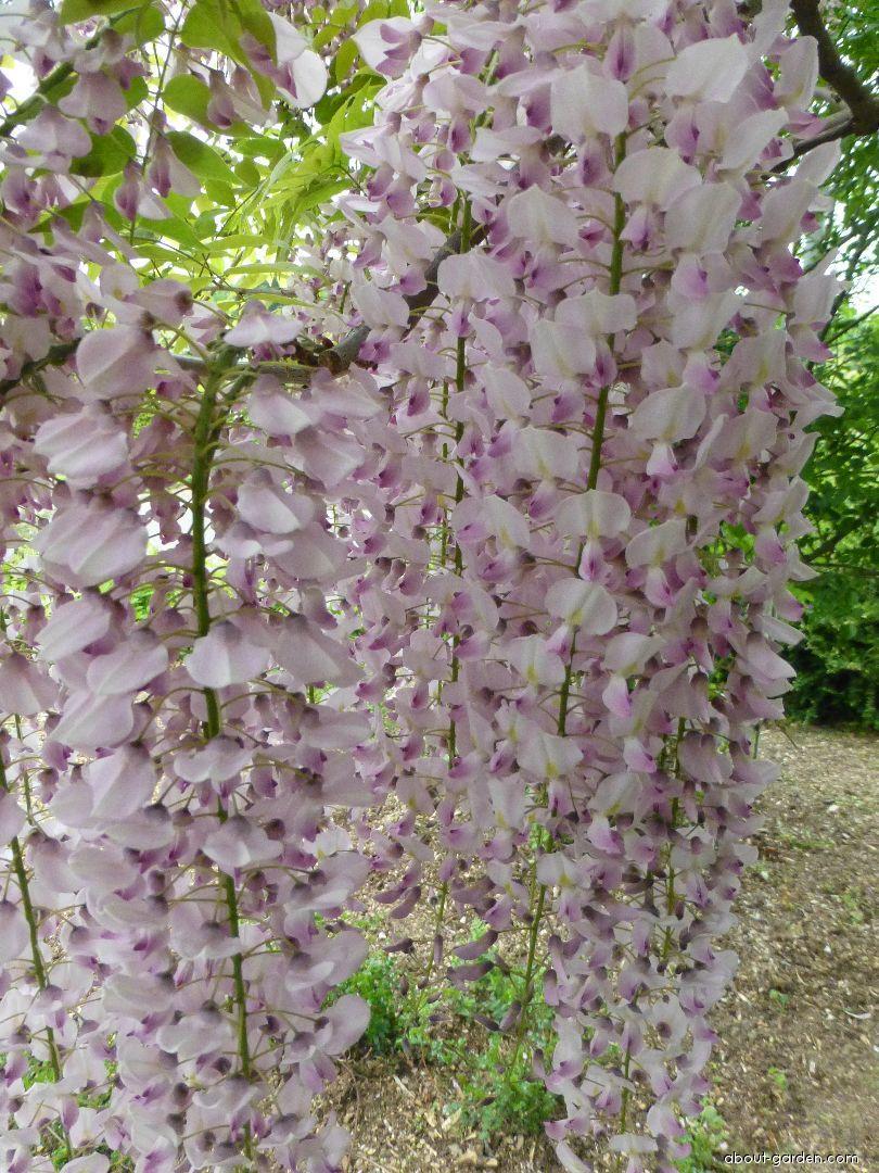 Japanese wisteria - Wisteria floribunda Benifugi