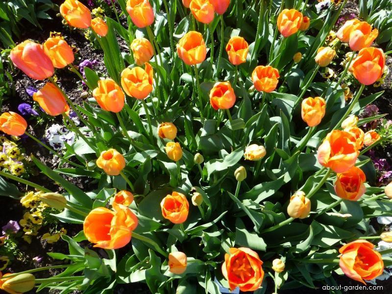 Tulip - Tulipa Dordogne