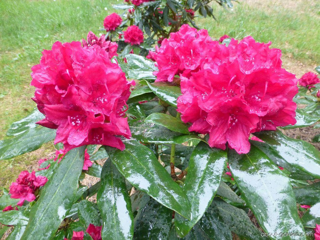 Pěnišník Vilém Heckel (Rhododendron)