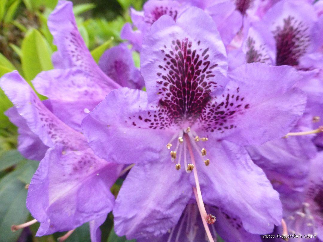 Rhododendron - Rhododendron Blue Boy