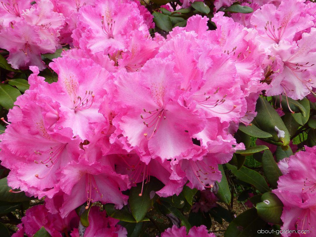 Rhododendron - Rhododendron Anastasia