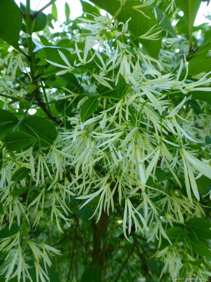 Bělas viržínský - větévka s květy (Chionanthus virginicus)