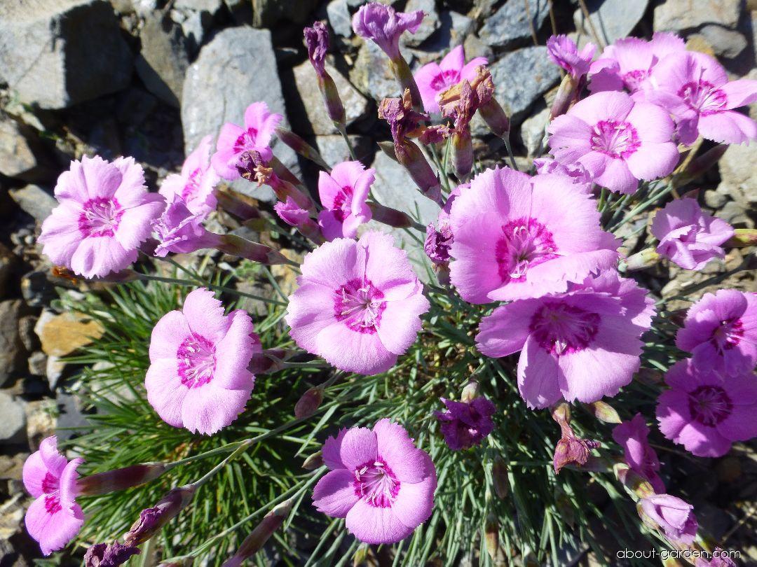 Cheddar Pink - Dianthus gratianopolitanus Gütle