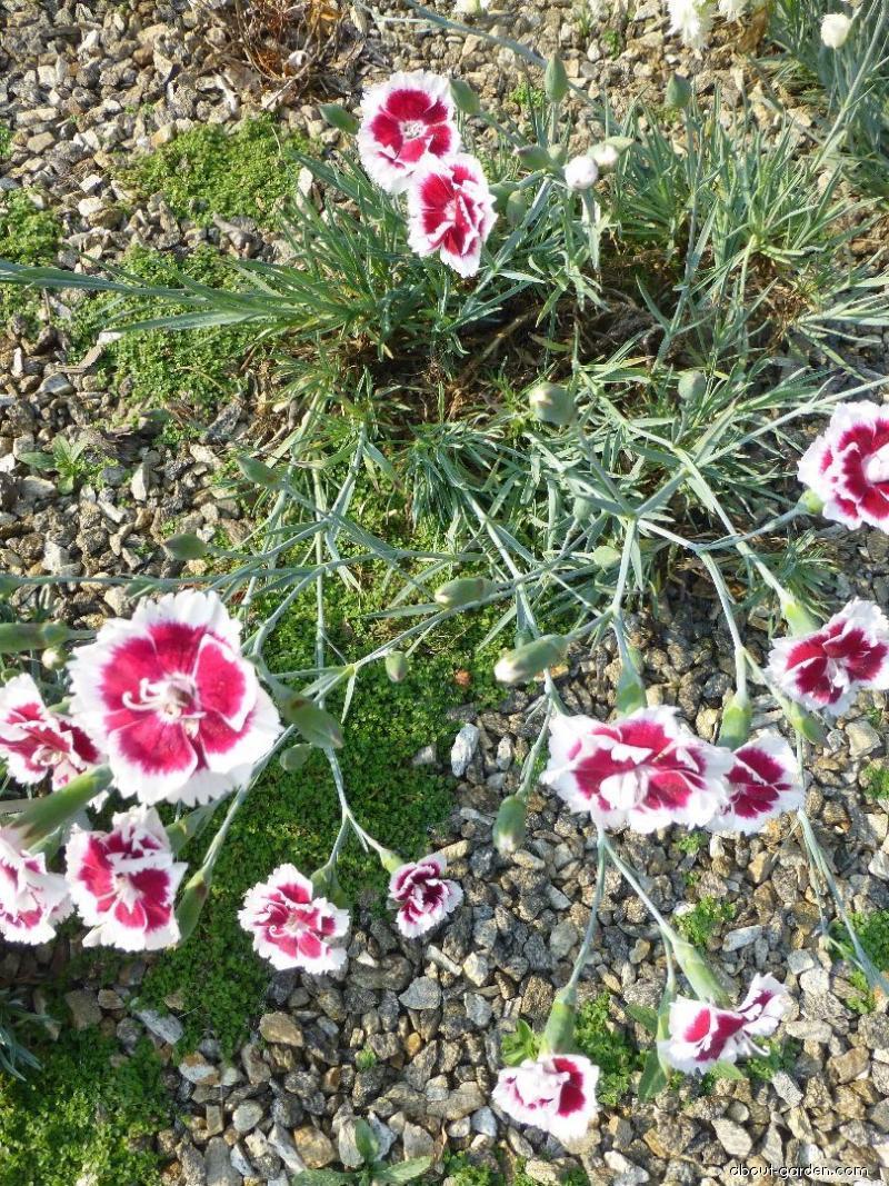 Hvozdík Alice (Dianthus x allwoodii)