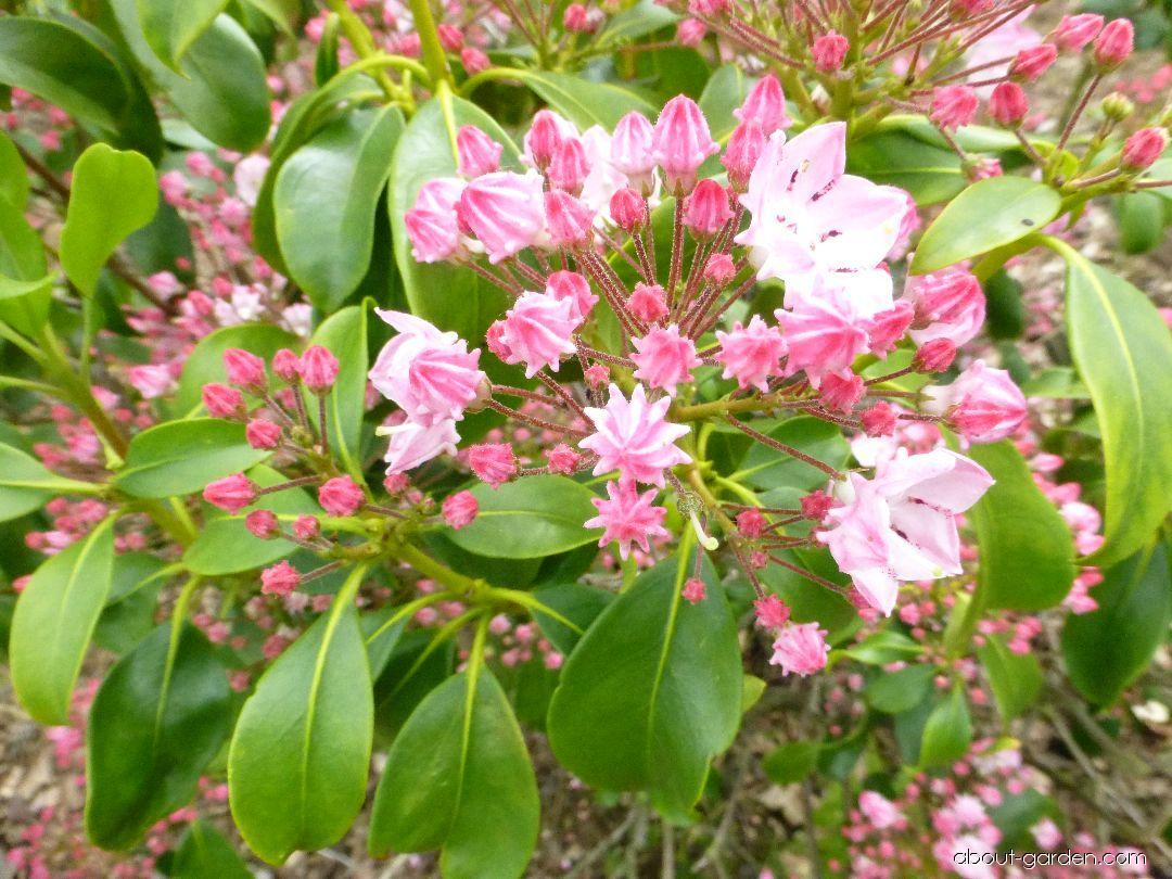 Mamota širokolistá Splendens (Kalmia latifolia)