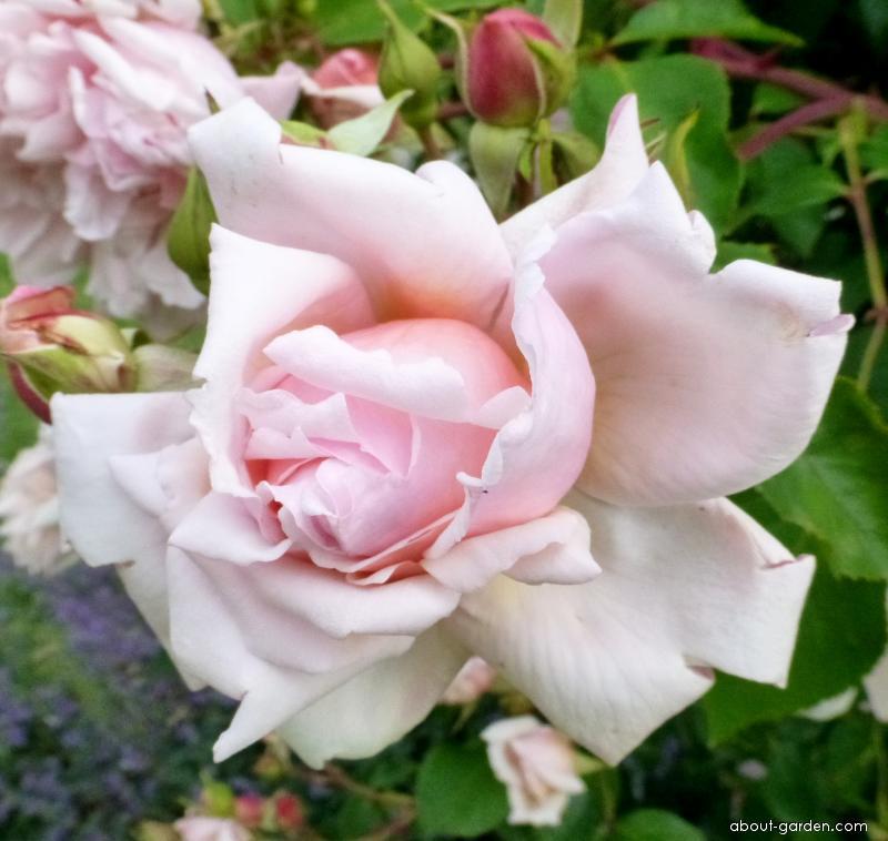 Rose - Rosa Albertine