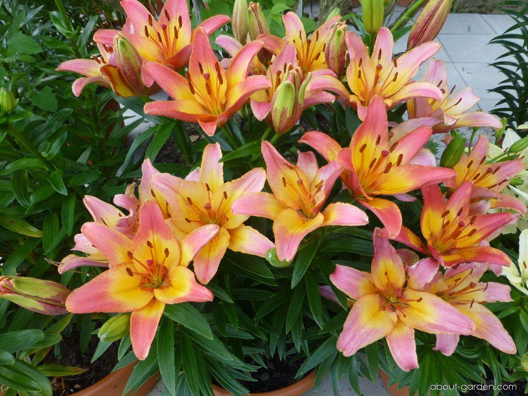 Lily - Lilium x hybridum Lady Like