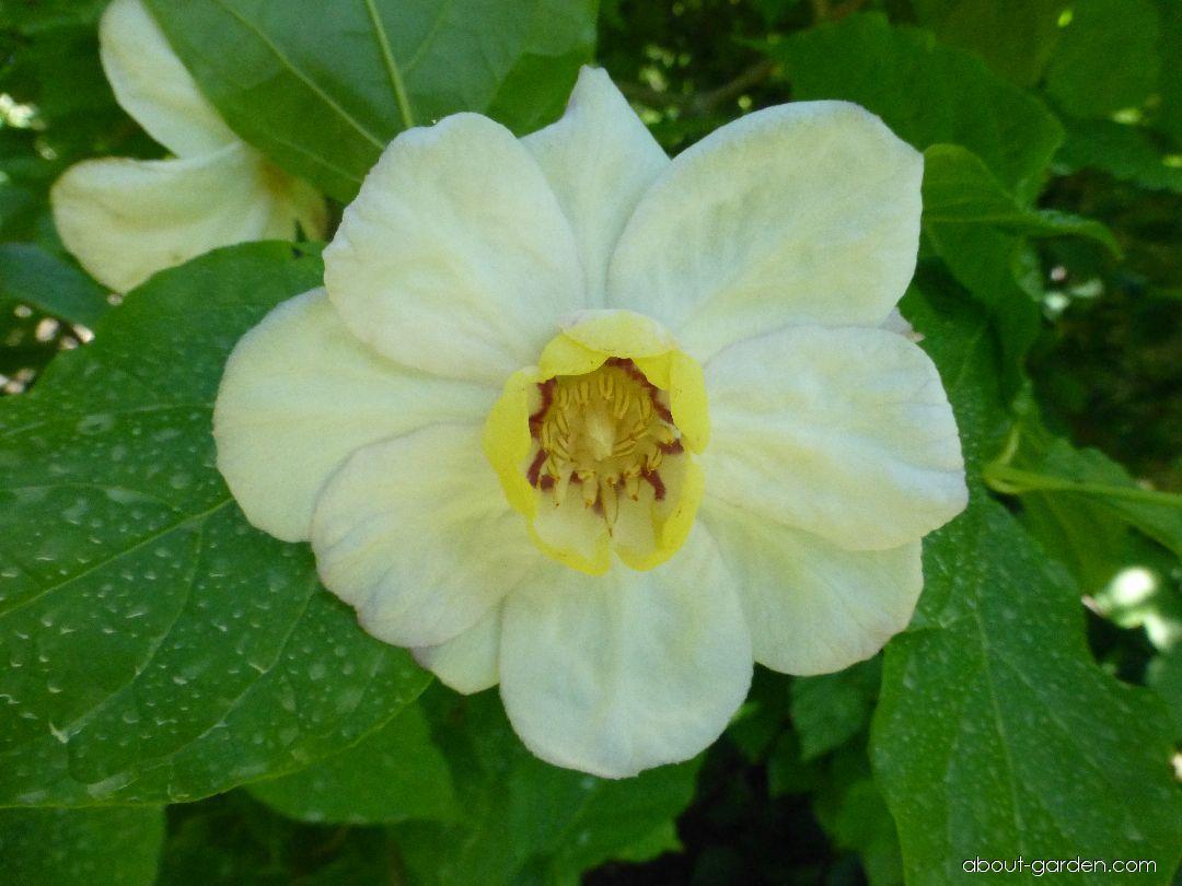 Sazaníkovec čínský - květ (Sinocalycanthus chinensis)
