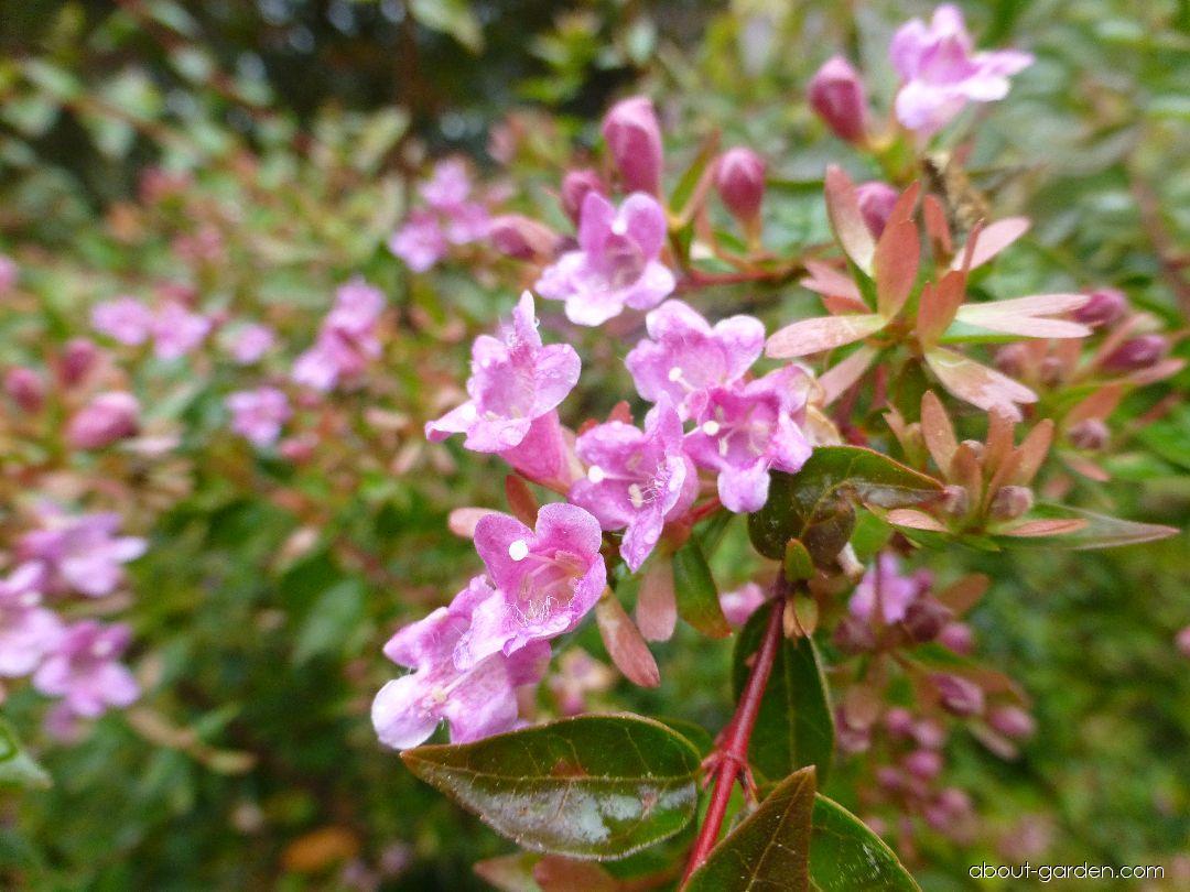 Glossy Abelia - Abelia x grandiflora Edward Goucher