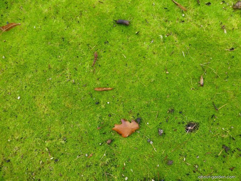 Úrazník šídlovitý (Sagina subulata)
