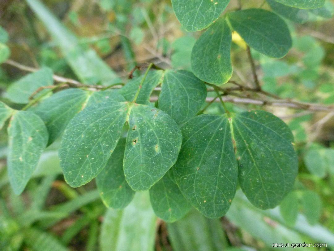 Bauhinie plstnatá - větévka s listy (Bauhinia tomentosa)